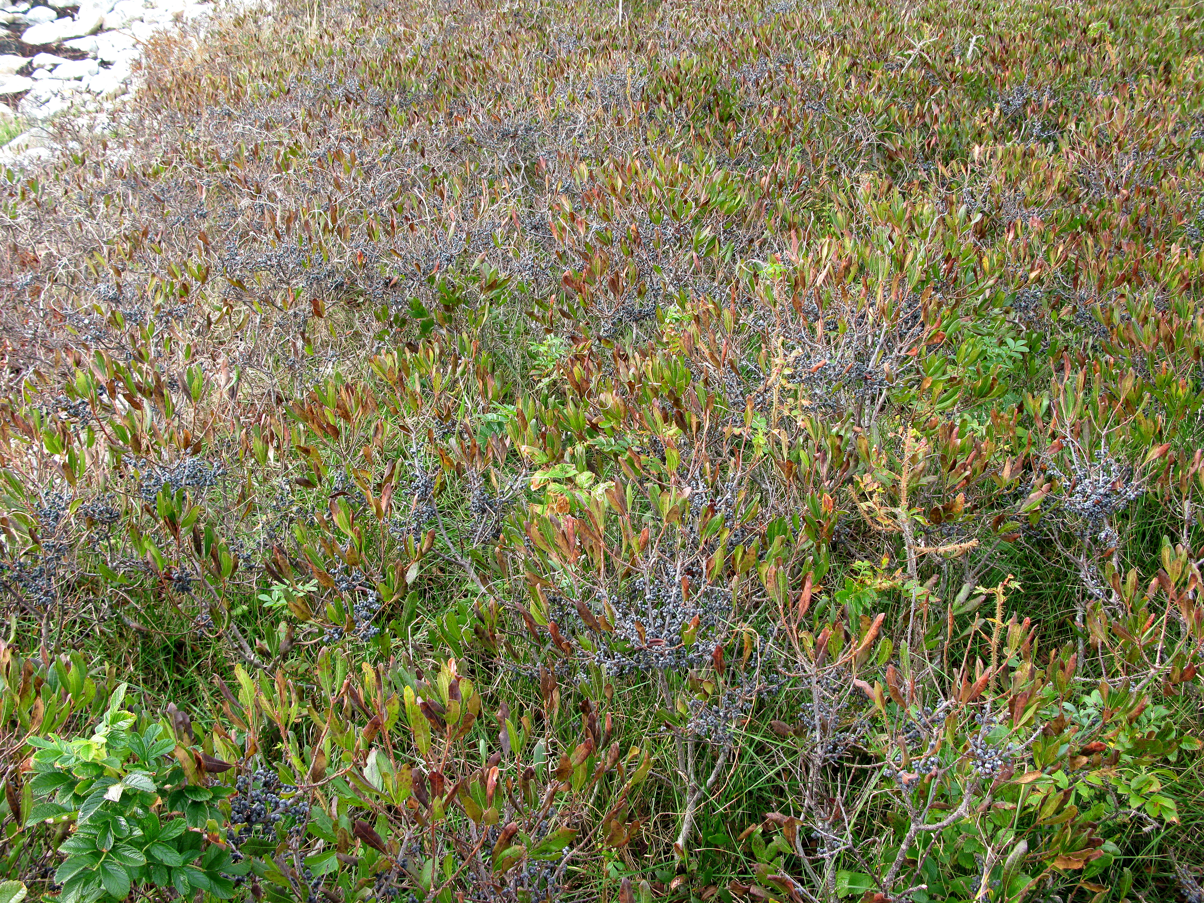 Wild Blueberry Bushes Pictures